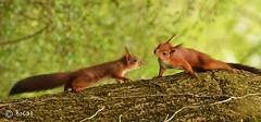 Rencontre d'écureuils.jpg (BoCat31) Tags: couple rencontre écureuil