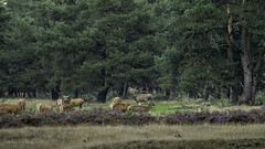 Wildlife at National Park De Hoge Veluwe (Luc V. de Zeeuw) Tags: park wildlife hoge veluwe nationalparkdehogeveluwe