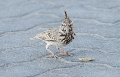 Crested Lark (Galerida cristata) Tofslrka (Peter Berglin Jnkping Sweden) Tags: