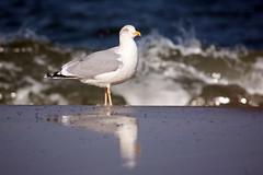Seagull (Pinky0173) Tags: bird balticsea möwe ostsee spiegelung vogel seegull kühlungsborn caon pinky0173 thrunfotografiede
