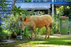 DSC_0011 (RUMTIME) Tags: lady yard garden donkey queensland coochie coochiemudlo