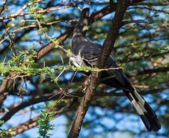 White-bellied go-away bird (Lluniau Clog) Tags: kenya greatriftvalley whitebelliedgoawaybird corythaixoidesleucogaster lakebaringo