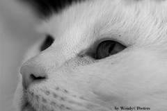 I'm so cute (WendyP_Photography) Tags: blackandwhite white macro cat wit closup