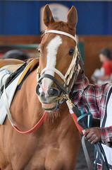 2015-10-30 (36) r3 #2 Tough Weather (JLeeFleenor) Tags: photos photography md marylandracing marylandhorseracing laurelpark paddock horses thoroughbreds equine equestrian cheval cavalo cavallo cavall caballo pferd paard perd hevonen hest hestur cal kon konj beygir capall ceffyl cuddy yarraman faras alogo soos kuda uma pfeerd koin حصان кон 马 häst άλογο סוס घोड़ा 馬 koń лошадь chestnut maryland