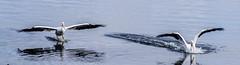 Double Landing (smfmi) Tags: whitingoverlookpark pelican pelicans americanwhitepelican americanwhitepleicans midlandcounty michigan pentax ks2 pentaxks2 frohm justpentax pentaxlife