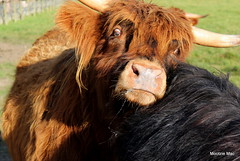Someone to lean on (mootzie) Tags: highland cows hairy ginger black horns scottish aberdeenshire scotland