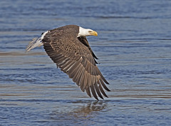 Skimming the Susquehanna (zarb67) Tags: americanbaldeagle americaneagle avianflightshot birdsofprey birdinflight susquehannariver conowingohydroelectricdam conowingo maryland raptors fishing canon 7dmarkll 600mmf4lisii14xiii fall2015