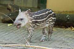 Zuid-Amerikaanse Tapir,Jong_04 (Nick Dijkstra) Tags: artis jong laaglandtapir southamericantapir tapirusterrestris zuidamerikaansetapir
