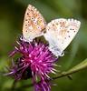 Common blue (Bakuman3188) Tags: hauhechelbläuling puktörneblåvinge голубянкаикар modraszekikar tiriltungeblåvinge icarusblauwtje 유럽푸른부전나비 イカルスヒメシジミ icaro polyommatusicarus argusbleu hohtosinisiipi commonblue almindeligblåfugl