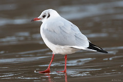 Black headed gull (Shane Jones) Tags: blackheadedgull gull seabird wildlife nature nikon d500 200400vr tc14eii