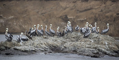 Peru (richard.mcmanus.) Tags: peru paracas bird pelicans peruvianpelicans wildlife pacific mcmanus animal panorama gettyimages