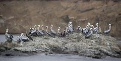 Peru (richard.mcmanus.) Tags: peru paracas bird pelicans peruvianpelicans wildlife pacific mcmanus animal panorama gettyimages