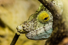 Parsons Chameleon (mlomax1) Tags: canon eos600d england chester chesterzoo zoo wildlife reptile chameleon parsonschameleon parson green bokeh explore