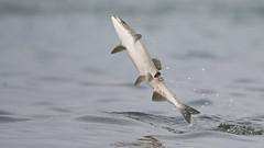 Salmon (carolinaaf14) Tags: salmon fish behavior water alaska innerpassage watertownsedtennesseeusa