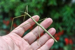 Stick insect  Phasmatodea (DigiPub) Tags:       m20161021 rejectedbygettyimages insect animal japan 107031881 stickinsect    phasmatodea walkingstick