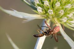 Araignée indéterminée (CCphoto12) Tags: arachnide araignée insecte letreuil nature