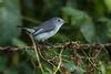 Gnat Catcher On A Fence (J Baker Photography) Tags: florida sanctuary fenceline blue grey gnat catcher tiny bird constant motion