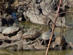 turtles soaking up some sun -- Catahoula NWR Hq Unit. La Salle Parish, Louisiana DSCN0348 (fall_out_bird_bayou_state) Tags: turtles reptiles basking herping swamp wetland cypress roots muddy