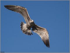 Gaviota sombra. (josemph) Tags: olympus e3 sigma 50500mm bigma aves lridos gaviotasombra larusfuscus