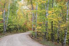 Autumn in the White Birch Forest (MichellePhotos2) Tags: autumn white birch forest tree fall foliage yellow green leaf leaves michigan up upperpeninsula picturedrocksnationallakeshore road 50mm prime nikon d800e nikond800e bark color peak