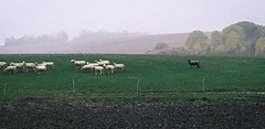 Schwarzes Schaf (lippold.tobias) Tags: gras herde tiere weide himmel wiese schwarzesschaf schaf
