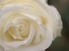 rose (upjohn_freak) Tags: rosa rose white flower fleur 花 薔薇 explore