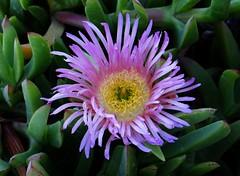 SOUR FIG FLOWER  #2 (3Point141) Tags: 3point141 sanmateo fig flower beach moripointbeach carpobrotusacinaciformis aizoaceae california usa sourfigflower