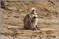 6589 - langur with kid (chandrasekaran a 38 lakhs views Thanks to all) Tags: graylangur langur mammals india tadoba maharashtra tatr tigerreserve wildlife nature canon60d tamron200500mm