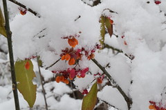 berries and snow (abbigail may) Tags: winter snow berries red orange green foliage leaves cold sticks branches