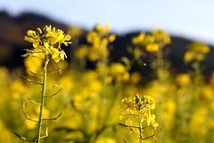 Rapeseed II (tillwe) Tags: tillwe 201611 autumn gundelfingen yellow rapeseed