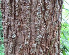 Cedrela odorata (Dick Culbert) Tags: taxonomy:binomial=cedrelaodorata taxonomy:family=meliaceae meliaceae taxonomy:common=cedroamargo taxonomy:common=cigarboxtree geo:lat=9158 geo:long=7984