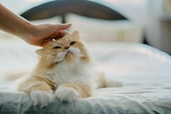 love me do (koolandgang) Tags: persian cat kedi kedici pisipisi mioumiou kitten kitty 9months irankedisi reis maaallah nikond700 nikon50mmf14 animal pet indoor love lovekitten lovely bedtime