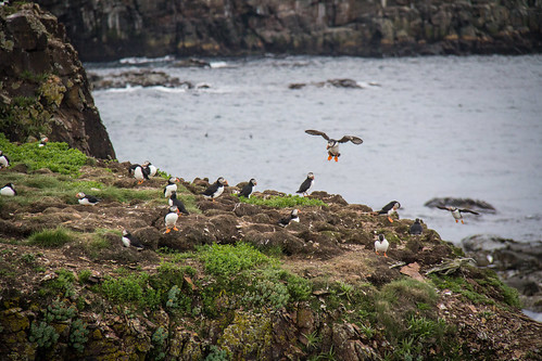 Puffins at Elliston 18