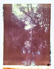 The River (dreamscapesxx) Tags: instant polaroid peelapart supershooter polaroid669film expiredfilm bytheriver oldflorida wilderness beautifulplace hillsboroughriverstatepark seffnerfl snapitseeit