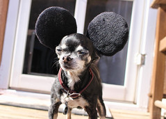 323/366 Minky Mouse (Helen Orozco) Tags: 2016366 birthday 88 minkymouse chihuahua steamboatwillie mickeymouse disney minky