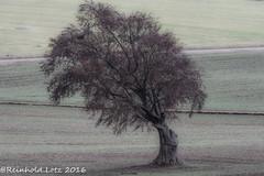 Old Tree (Explored 2016-11-20) (Reinhold.Lotz) Tags: bume feldbume landschaften kirtorf hessen deutschland de ngc npc coth5