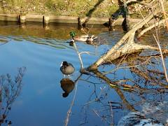op twee pootjes... (bcbvisser13) Tags: eend waterkip reflectie takkenbos water boomtak oever natuur nederland eu