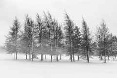 Winter Wind (bprice0715) Tags: canon canoneos5dmarkiii canon5dmarkiii landscape landscapephotography nature naturephotography beautiful beauty beautyinnature blackandwhite bw blackwhite black white outdoors snow trees wind weather