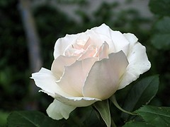 Jesu, mein Jesu, mein einziges Leben (amras_de) Tags: rose rosen rua rosa rue rozo roos arrosa ruusut rs rzsa roe rozes rozen roser rza trandafir vrtnica rosslktet gl blte blume flor cvijet kvet blomst flower floro is lore kukka fleur blth virg blm fiore flos iedas zieds bloem blome kwiat floare ciuri flouer cvet blomma iek