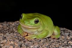 Green Tree Frog (Litoria caerulea) (shaneblackfnq) Tags: green tree frog litoria caerulea shaneblack amphibian mt mount surprise fnq far north queensland australia tropics tropical whites granite