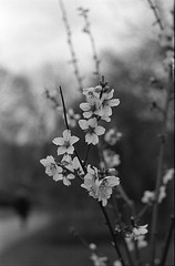 Blossom of my life (the_anachronist) Tags: flower flowers nature life blossom petals white black monochrome bw ilford ilfords hp5 35mmfilm 60mmf28d nikon nikkor f55 iso400 400