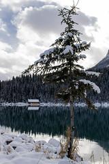 Snow on the tree. (Nestor Velasco) Tags: lakelouise lake lago arbol snow tree alberta canada banff nationalpark nikon d5300 nikond5300 travel