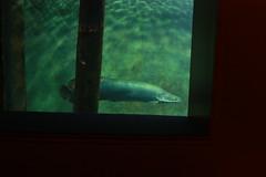 Arapaima (fernand0) Tags: arapaima pez fish zaragoza spain acuario