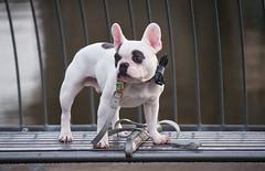 Do I Look Pretty (Orbmiser) Tags: 55200vr autumn d90 fall nikon oregon portland dog bench waterfront willametteriver