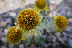 Flower Close Up (GlobalGoebel) Tags: canon powershot g9x closeup flowers grand teton national park wyoming tetoncresttrail