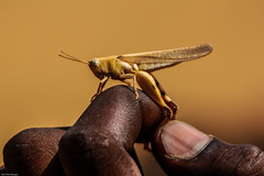 Cricket in captivity (Mali, Mopti Region)
