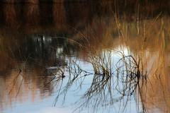 reflections in pond (robin denton) Tags: lake pond plants reflections reflection tophilllow ywa yorkshire yorkshirewater naturereserve nature