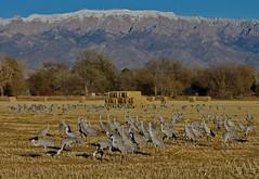 Cranes Sandia Sandhill Cranes (Grus canadensis); Sandia Mountains in the background. Los Poblanos Open Space, Albuquerque, New Mexico, USA. (cbrozek21) Tags: crane sandhillcrane gruscanadensis bird sandiamountains newmexico birdflock nature
