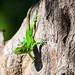 Green spiny lizard on a tree