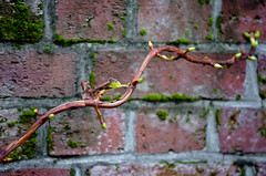 Jack's Beanstalk against the Brick Wall (Orbmiser) Tags: 55200vr autumn d90 fall nikon oregon portland brick wall creeping branch stalk twisting plant